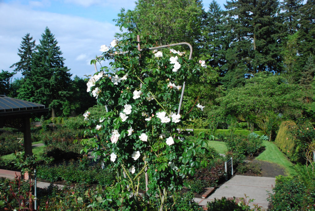 Even roses are tested at the International Rose Test Garden in Portland Oregon.